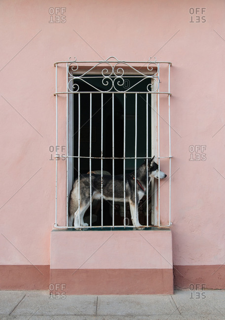 Domestic dog standing in narrow window with metal ornate grate of aged stone house on street of Cuba