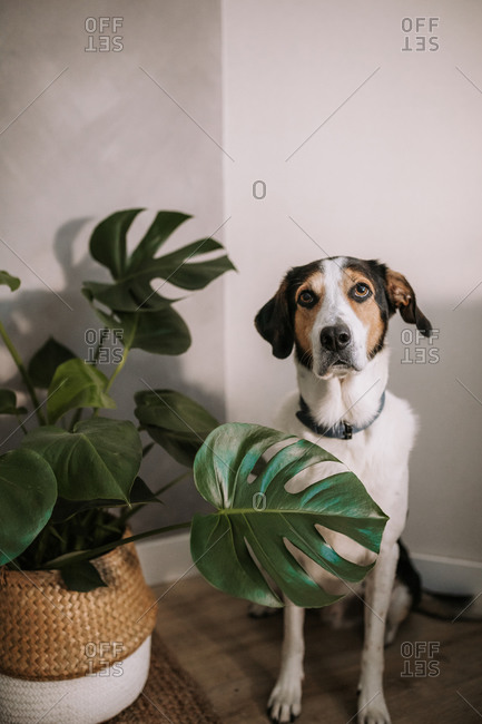 Adorable Treeing Walker Coonhound dog sitting near potted houseplant in room and looking up