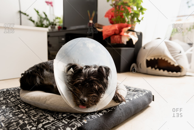 Black fluffy dog in plastic Elizabethan collar lying on bed and relaxing at home