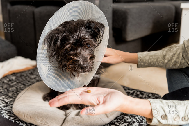 Unrecognizable female giving pill for cute fluffy dog in pet cone sitting in living room at home
