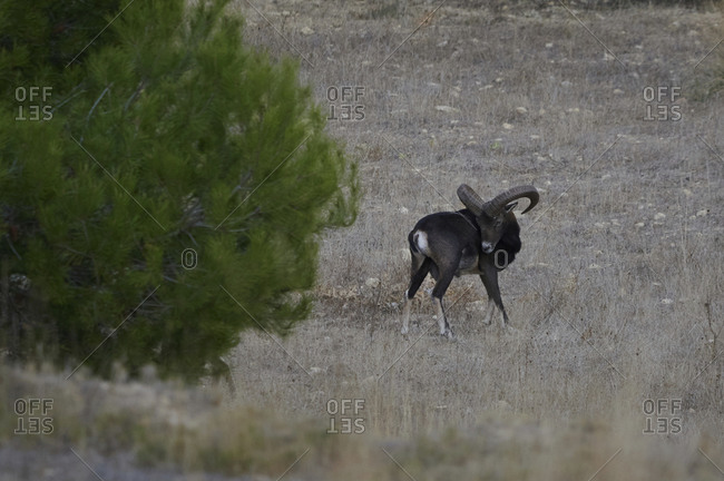 Wild male mouflon with huge antlers standing in woods on sunny day