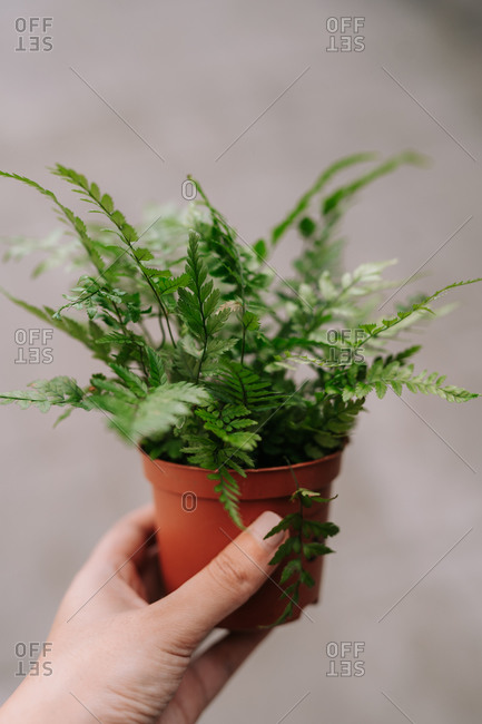 Crop anonymous female holding small ceramic pot with green fern plant for gardening and home decoration