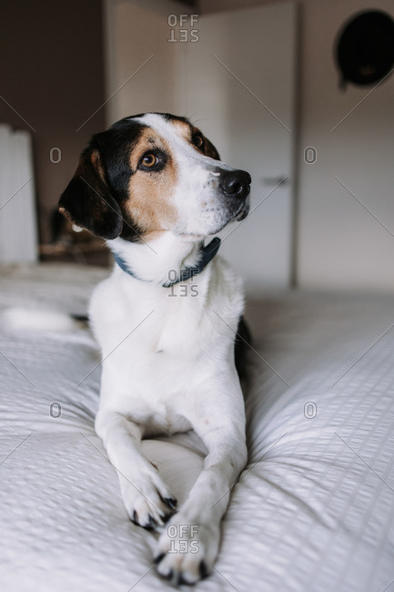 Adorable Treeing Walker Coonhound dog lying on soft bed in bedroom and looking away