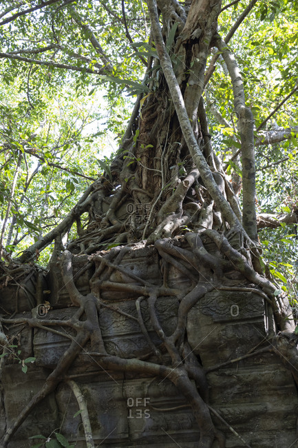 Tree roots growing over and through the Ta Prohm temple
