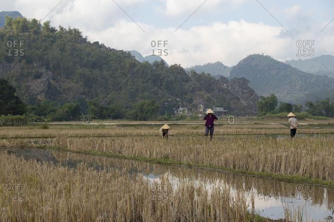 Vietnam, Asia - December 19, 2019: Three women working in rice paddies