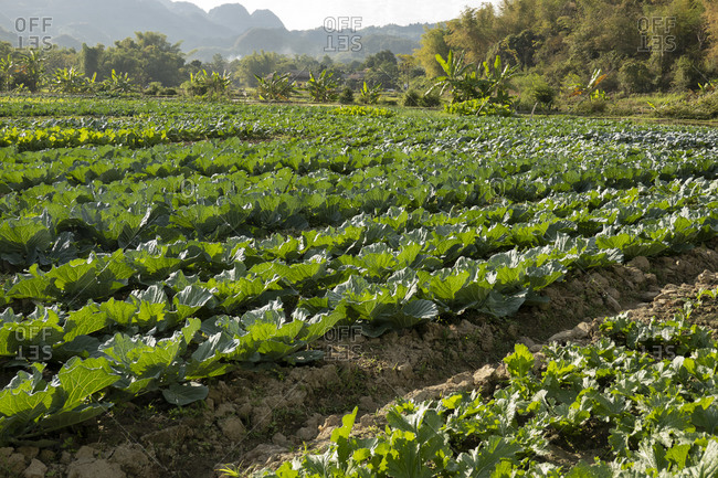 Rows of cabbages on a farm