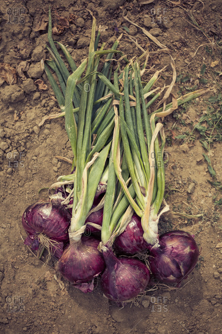Bunch of fresh homegrown onions