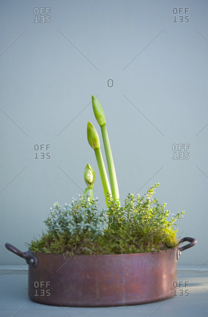 Amaryllis stems and moss growing in copper pot
