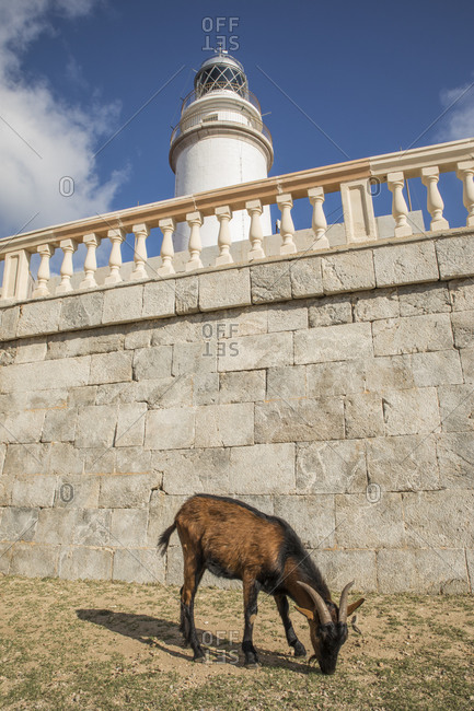 Spain- Mallorca- Goat grazing at foot of Formentor Lighthouse