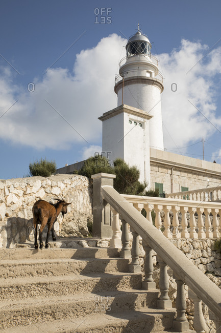 Spain- Mallorca- Goat walking up steps of Formentor Lighthouse