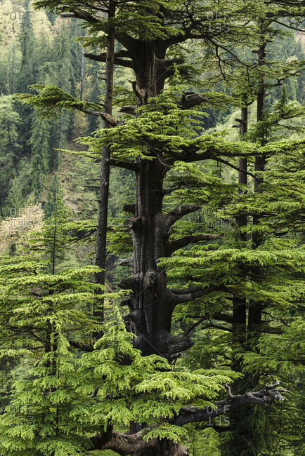 Green forest trees in Himalayas