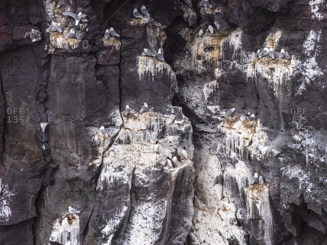 Seagulls perching along face of steep cliff- Iceland