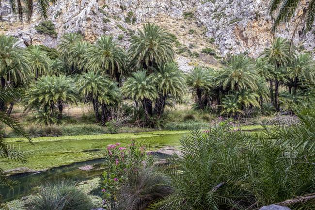 Palm trees growing along Kourtaliotiko River