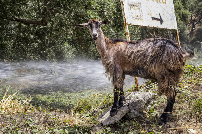 Portrait of brown goat cooling off in spray of water