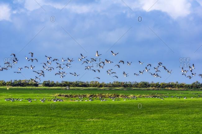 Geese flying above rural field