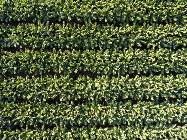 Rows in a banana plantation viewed from above