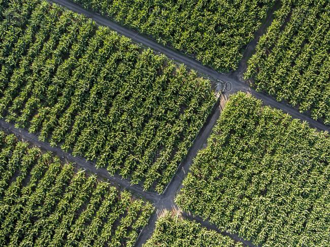 Aerial view of the banana plantation