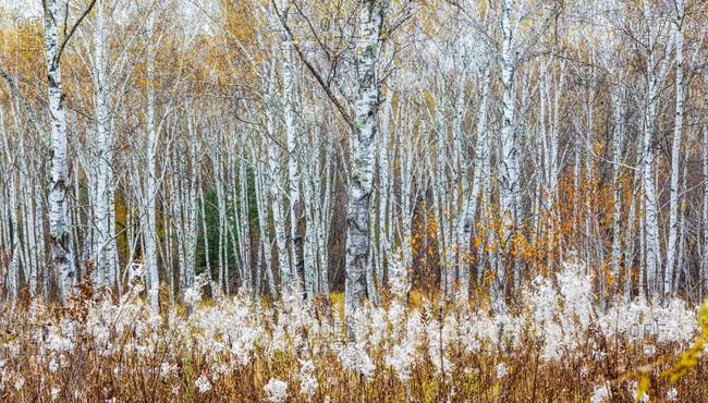 Birch trees in Heilongjiang province