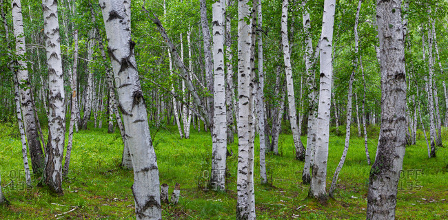 Birch trees in Heilongjiang province in the summer