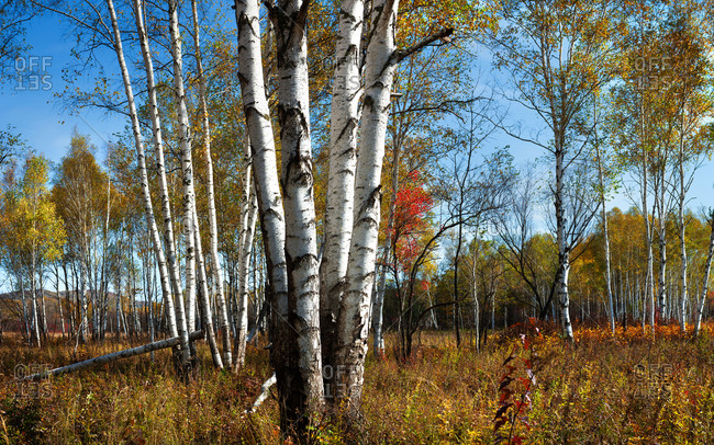 Birch trees in Heilongjiang province in the summer in the fall
