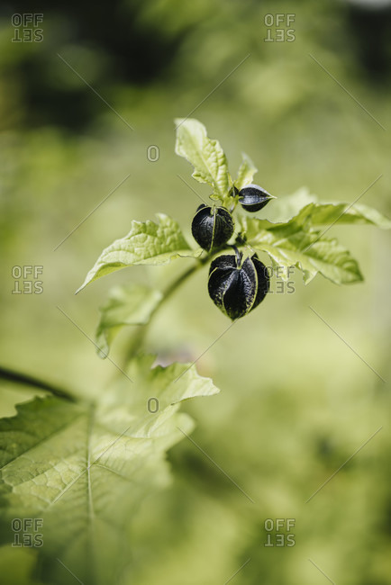 Poison berry (Nicandra physaloides) photo from the Offset Collection