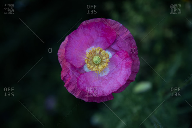 Wildflower meadow, poppy flower photo from the Offset Collection