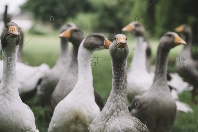 Domestic goose, Pommerngans photo from the Offset Collection