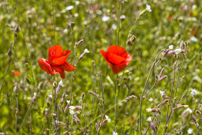 Poppies in the cornfield photo from the Offset Collection