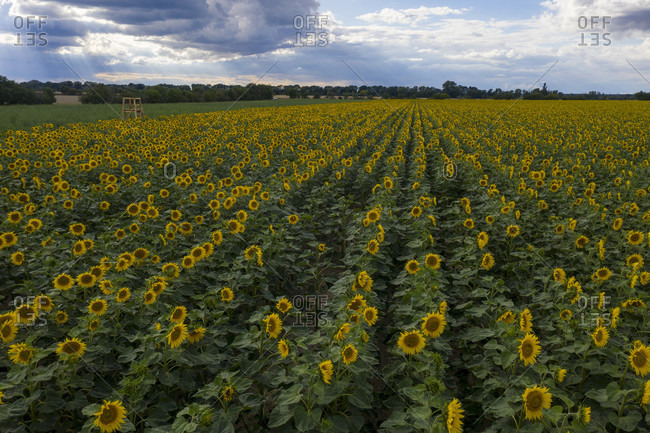 Sunflowers photo from the Offset Collection