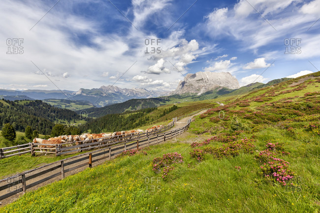 Hafliger horses and rhododendron blooming in the molignon - mahlknecht area, in the background the sassospiatto - plattkofel, alpe di siusi - seiseralm, south tyrol, bolzano, italy