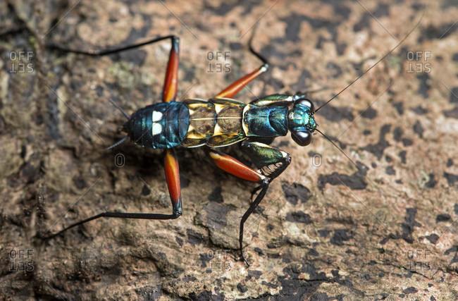Nymph of the praying mantis species Metallyticus splendidus, Metallyticidae family, Danum Valley Conservation Area, (Danum Valley Conservation Area ,, Sabah, Borneo, Malaysia