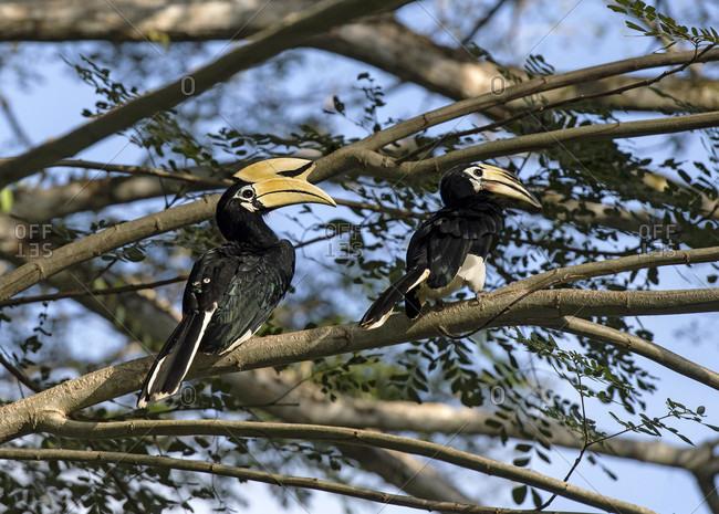 Oriental hornbill pair (Anthracoceros albirostris), family of hornbills (Bucerotidae), Danum Valley Conservation Area (Sabum), Sabah, Borneo, Malaysia