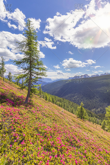 Rhododendron carpet in bloom in the pastures of the comelico valley, near the border crest Italy Austria, Carnic Alps, belluno, veneto, italy