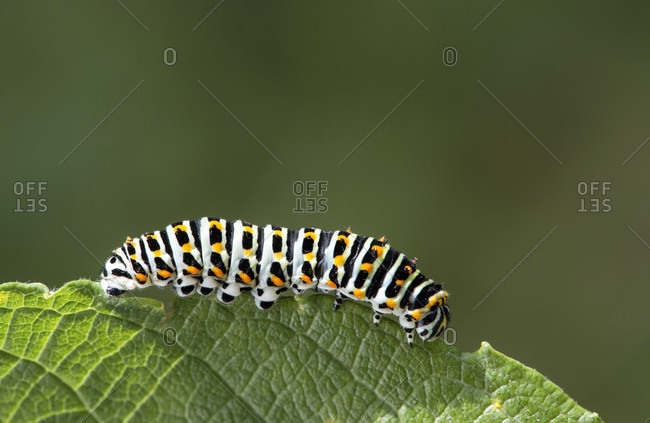 Caterpillar of the Swallowtail Butterfly (Papilio machaon), Knight Butterfly Family (Papilionidae), Gasterntal, Kandersteg, Switzerland