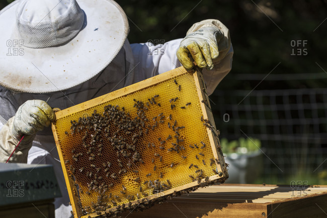 June 1, 2020: June 1, 2020: A beekeeping on the edge of the forest: everyday life of a beekeeper. Beekeepers inspect the honeycomb.
