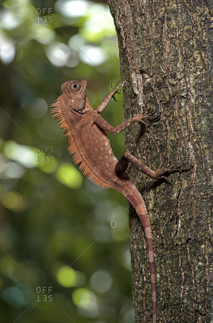 Angle-headed dragon Gonocephalus liogaster, family of the Agamidae, Danum Valley Conservation Area, Sabah, Borneo, Malaysia
