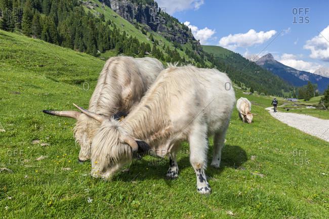 June 21, 2020: Domestic yaks grazing in val duron, val di fassa, campitello di fassa, trentino alto adige, italy