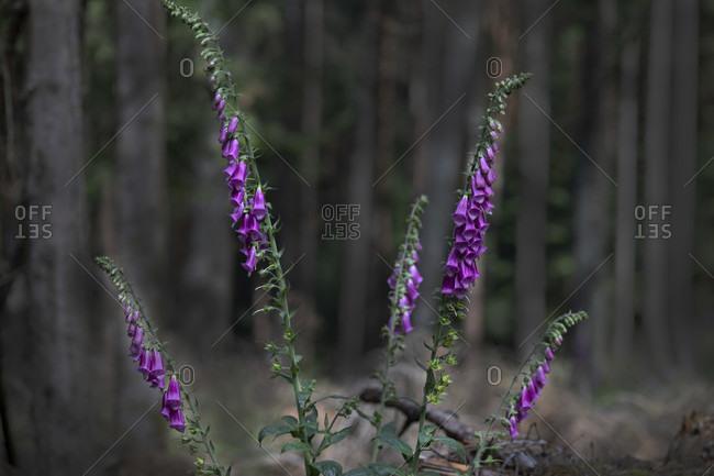 Digitalis purpurea, Thimble, Wild,  Flower, Poison, Herbs, Forest, Europe, Germany, Black Forest, Triberg