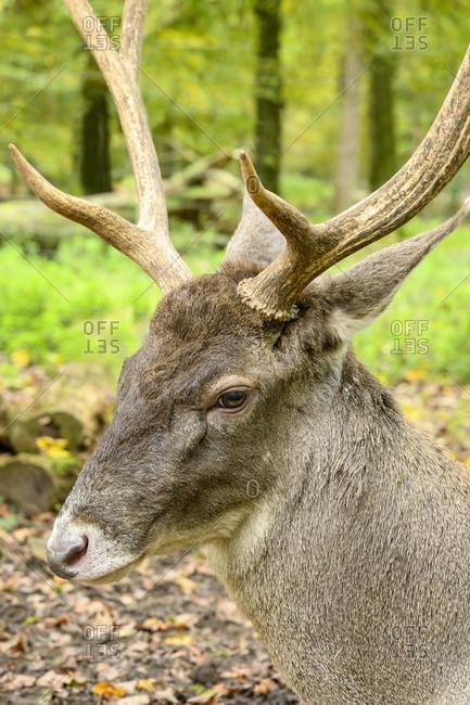 Germany, Baden-Wuerttemberg, Karlsruhe, deer (white-lipped deer, Cervus albirostris) in the Oberwald.