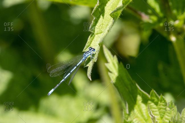 Azure Maiden (Coenagrionid) genus of slender dragonflies (Coenagrionidae), female on a nettle leaf.