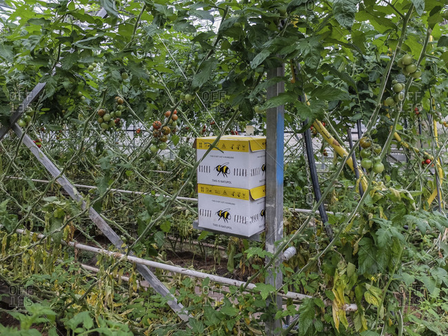 May 27, 2019: Bumblebee box with the bumblebees for pollination of tomatoes in the greenhouse