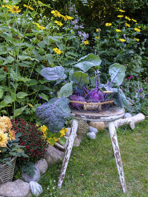 "Purple kohlrabi ""hummingbird"" (Brassica oleracea var. Gongylodes) decorative in a wire basket"