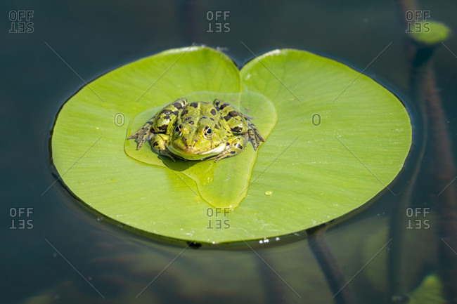 Germany, Baden-Wurttemberg, Au a. Rhine, water frog, green frog, pelophylax on a lily pad.