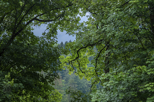 Maple, Trees, Park, Relax, Branch, Acer, Europe, Germany, Black Forest, Triberg, Bahnhof,