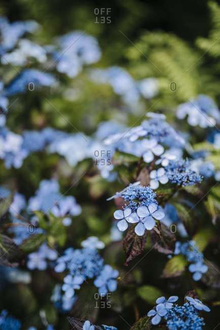 "Detail of a blue flowering hydrangea, in the Victorian ""Walled Garden"" of Kylemore Abbey"