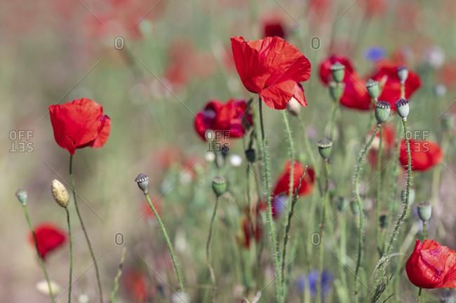 Poppy, Flower, Field, Meadow, Flower, Red, Papaver, Europe, Poland, Szczecin, Przeclaw,