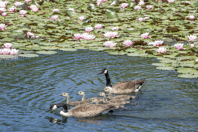 Germany, Baden-Wurttemberg, Au a. Rhine, Canada Goose (Branta canadensis) with chicks.