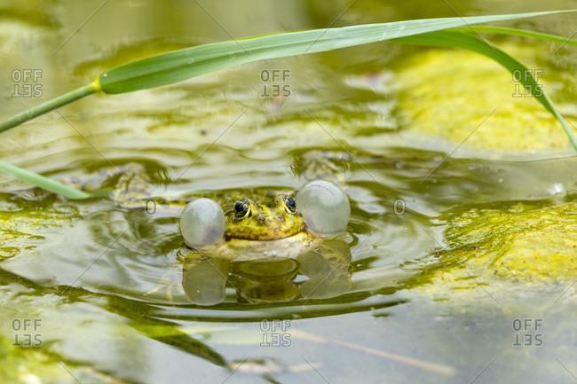 Pond frog (Pelophylax kl. Esculentus, Pelophylax esculentus, Rana esculenta) croaking.