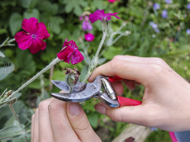 Removing faded flowers of the crown carnation (bot.Silene coronaria), garden practice