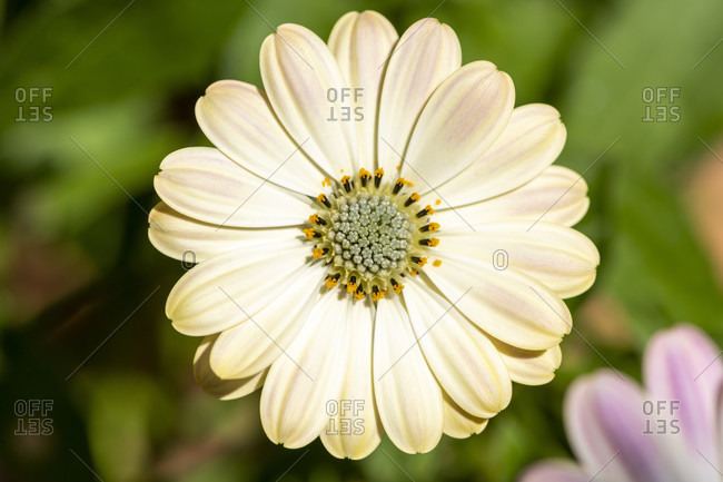 Cape baskets (Osteospermum), also called Cape daisies, called paternoster shrubs.